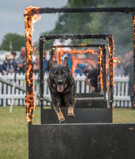 dog performance at dogfest mobile image
