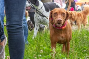 vizla at dogfest