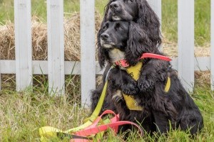 black spaniels at dogfest