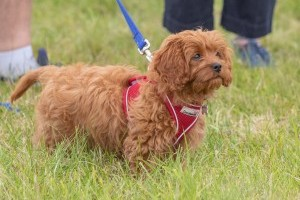puppy at dogfest