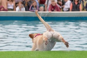 dog diving at dogfest