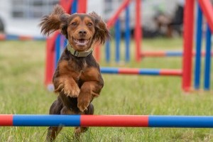 agility at dogfest
