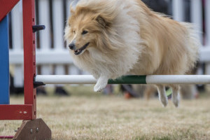 Fluffy dog hurdling