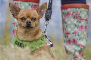 Chihuahua and wellies